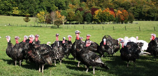 Ashford-Farm-Christmas-Free-Range-Turkeys-slider-02