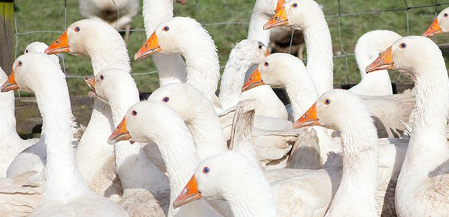 Ashford-Farm-Christmas-Free-Range-Turkeys-slider-07